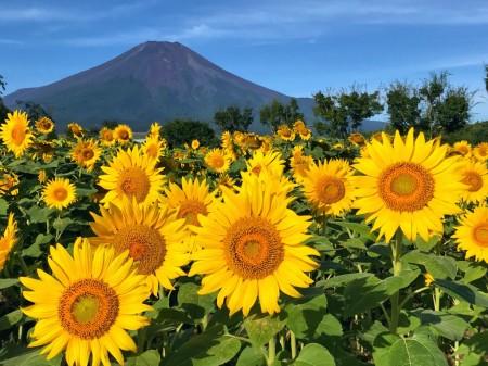 花の都公園のひまわりと富士山2018
