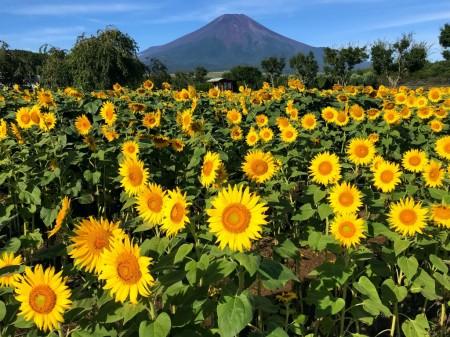 花の都公園のひまわりと富士山
