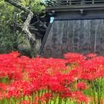 英勝寺の彼岸花と鐘楼