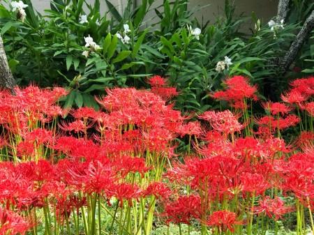 英勝寺の彼岸花とジンジャー