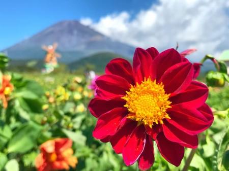 ぐりんぱのダリアと富士山