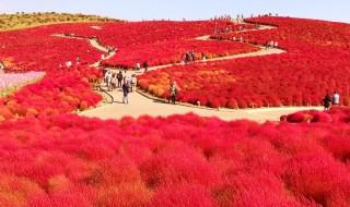 ひたち海浜公園のネモフィラ紅葉