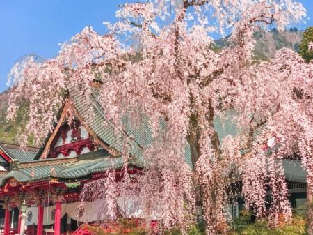 400 years old Shidare-Zakura cherry blossoms in Minobusan Kauonji Temple