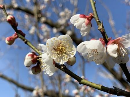 梅を接写で撮る