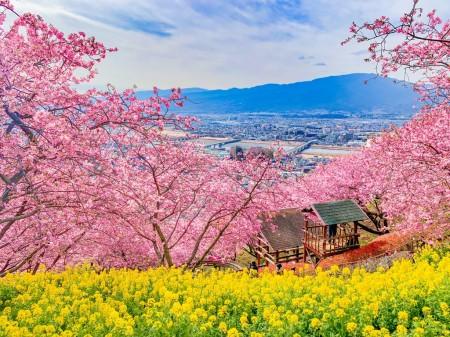 まつだ桜まつり2019で河津桜