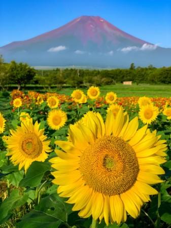 花の都公園の富士山とひまわり