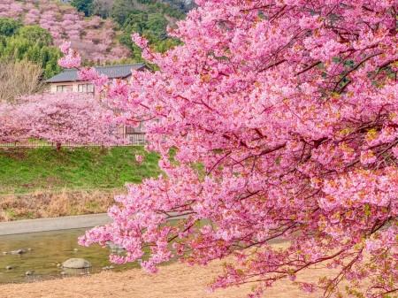 曇りの日の桜の撮影