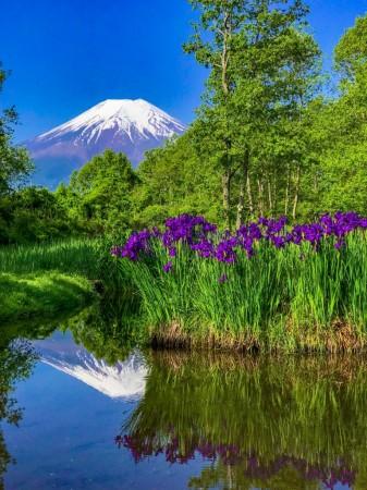 ドジョウ池の菖蒲と富士山