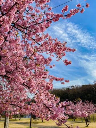 引地川親水公園の河津桜