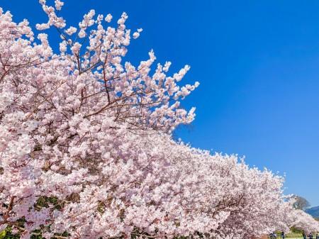 一の堰ハラネ春めき桜
