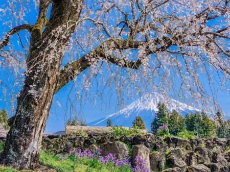 常境寺のしだれ桜と富士山