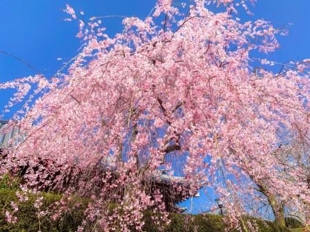 大石寺のしだれ桜