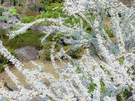 大石寺の雪柳