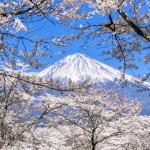 大石寺で富士山と桜