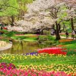 国営昭和記念公園の桜とチューリップ