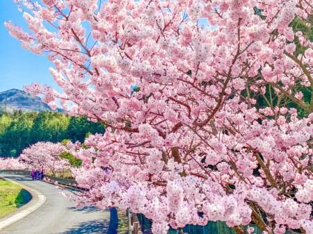 秦野の春めき桜
