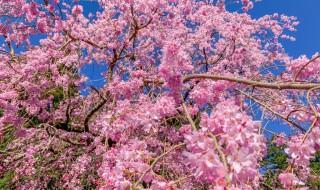 大雄山最乗寺のしだれ桜