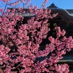 建長寺のおかめ桜