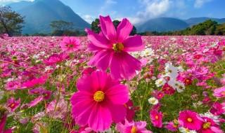 しまばら火張山花公園のコスモス